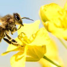 Včely a elektrosmog