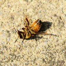 Žiarenie mobilného telefónu a smrť hmyzu