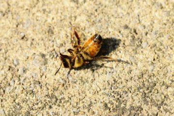 dead-bee-small>